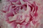light pink peony petals