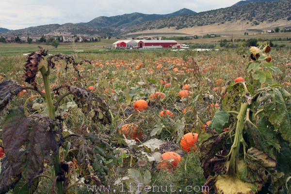 pumpkin patch with red barn