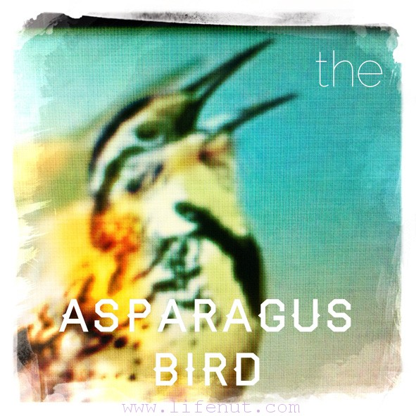 asparagusbird